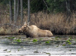 Moose swimming