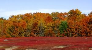 Field of Blueberries