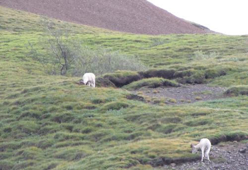 32B Dahl sheep