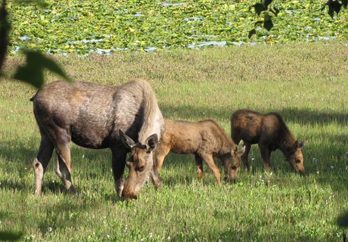 5 mom&twins grazing