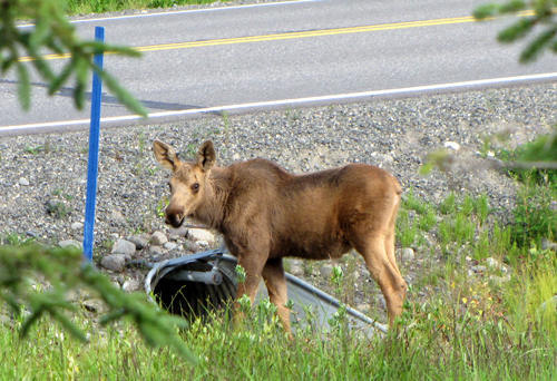6 moose calf culvert