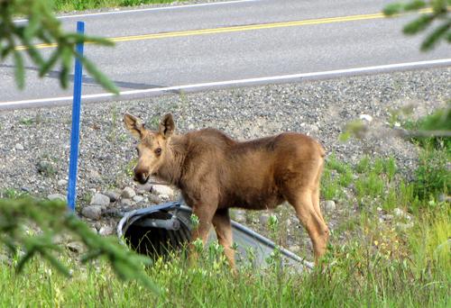 6 moose calf culvert