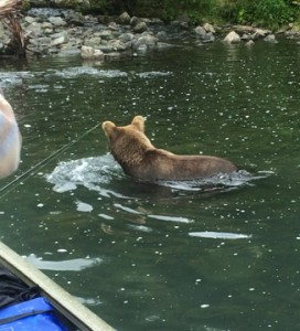 Brown bear to close to boat!