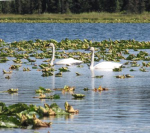 Swans in the lily pads