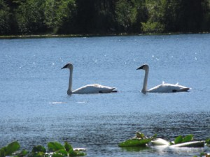 Our Lake Swans