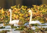 Swans at Johnson Lake
