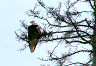 Eagle overlooks the RV Park